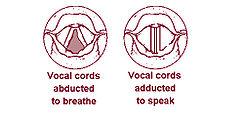 呼吸時と発生時の声帯
